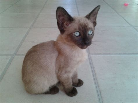 ragdoll x siamese 10 weeks ragdoll x siamese for sale harrogate