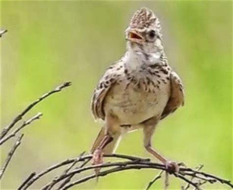 Harga Pakan Branjangan berbagai macam jenis burung branjangan lengkap