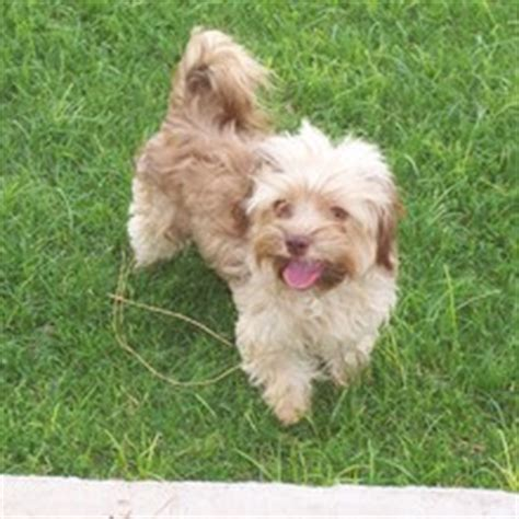 bolonka puppies for sale russian bolonka puppies for sale