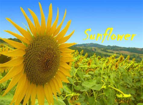 Bunga Matahari Sunflower bunga matahari sunflower alam mentari