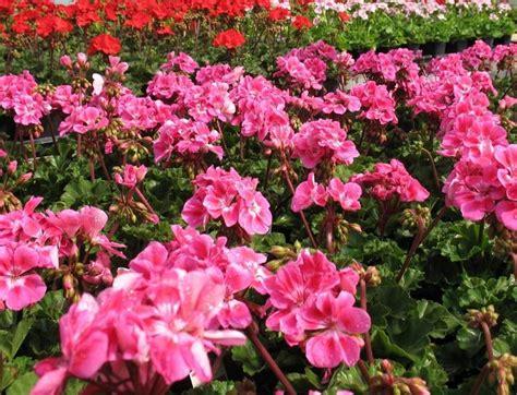 gerani fiori fiori gerani gerani i fiori dei pelargonium