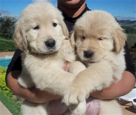 canil golden retriever golden retriever canil anjos do orypaba cachorros animais de estima 231 227 o