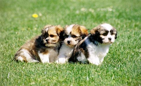 temperament of a shih tzu maltese shih tzu history appearance health and temperament