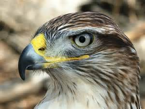 colorado birds of prey