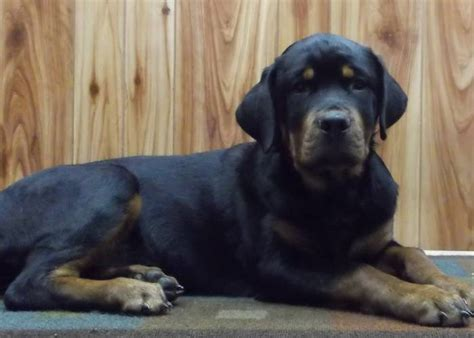 kimbertal kennels rottweiler puppies for sale r89g sale kimbertal kennels
