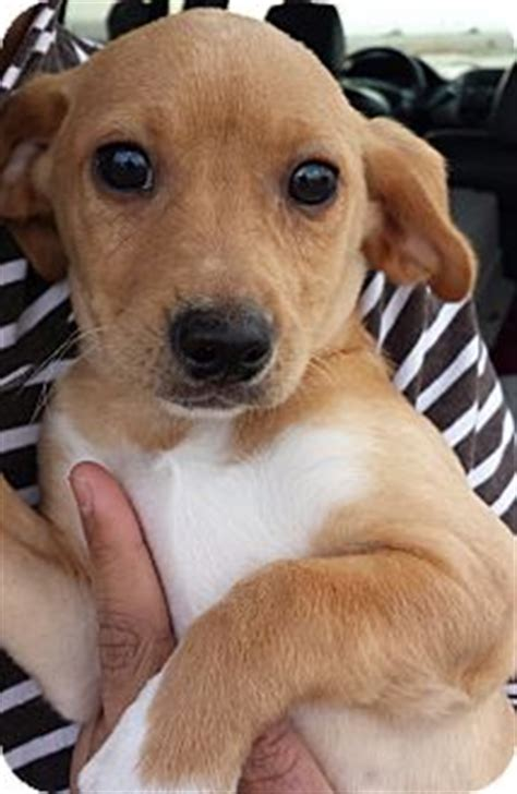 dachshund puppies seattle quot quot adopted puppy seattle wa dachshund papillon mix