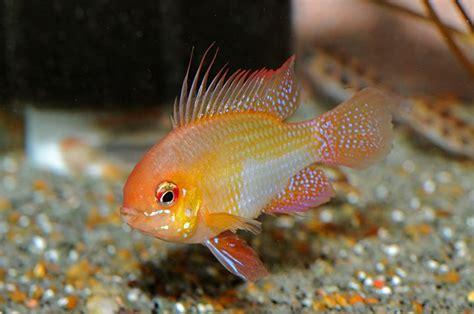 ram fish golden angelfish freshwater www imgkid the image
