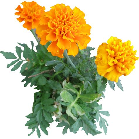 image for flowers 10 plants flowers png images free cutout plants for