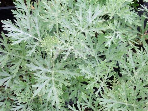 fiore artemisia artemisia artemisia arborescens artemisia arborescens