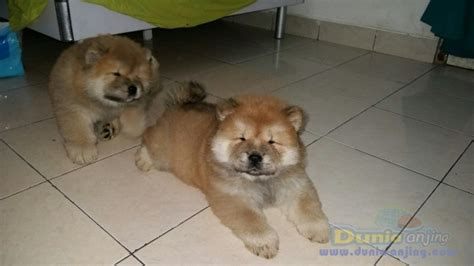 Jual Anakan Chow Chow Best Quality dunia anjing jual anjing chow chow anakan chow chow lucu banget