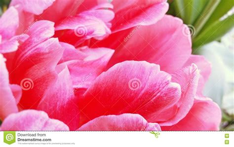 bright colored l shades closeup image of bright pink fluffy tulip flower stock