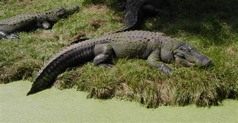Alligator | Animal Wildlife