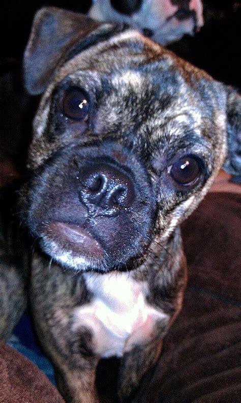 bulldog boston terrier pug mix bulldog boston terrier pug mix picture breeds picture