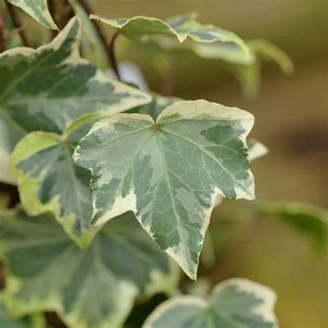 edera fiori edera piante da giardino pianta ricante