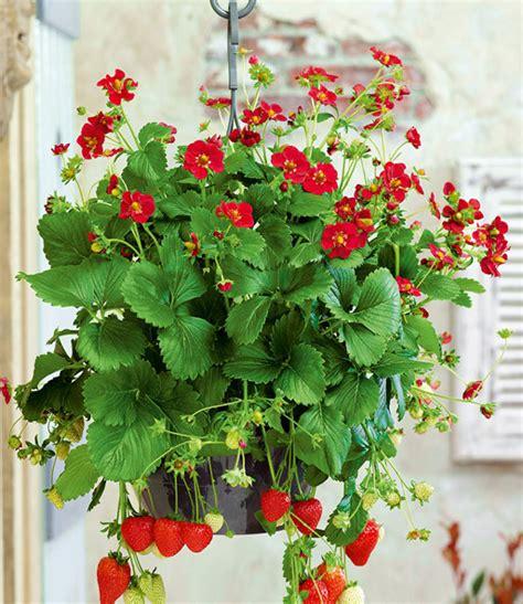 Himbeeren Pflanzen Balkon by Balkon Erdbeere Ruby 1a Qualit 228 T Baldur Garten