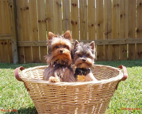 beautiful yorkies terriers images the beautiful yorkie hd wallpaper and background photos