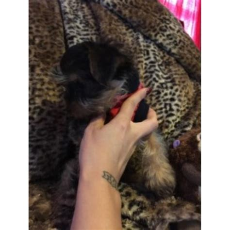 yorkie breeders ma yarysyorkies terrier breeder in lowell massachusetts listing id 23784