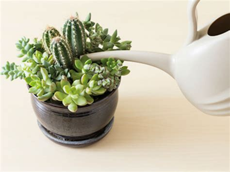 how to water succulents world of succulents