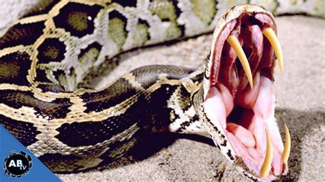 python image burmese pythons www imgkid the image kid has it