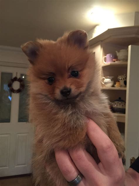 purebred pomeranian puppies for sale from breeders purebred pomeranian puppies portsmouth hshire pets4homes
