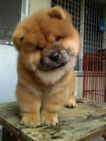chow chow i will have one some day just like we had
