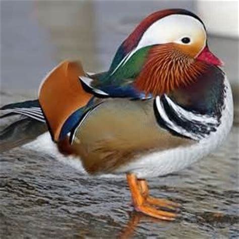 duck breeds the world s catalog of ideas