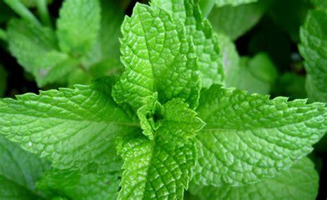 menghilangkan jerawat secara alami  daun mint