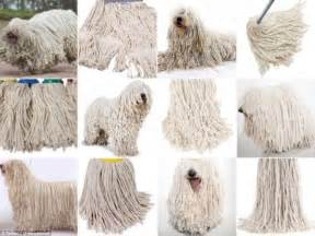 mop puppies that looks like a mop puppies www imgkid the image kid has it
