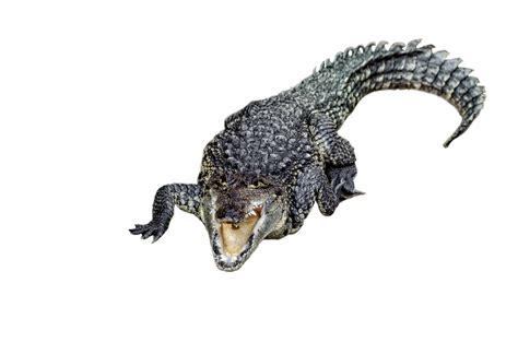 animal crocodile  stock photo public domain pictures