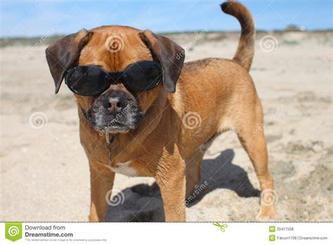 doggles for pugs doggles royalty free stock photos image 30417558