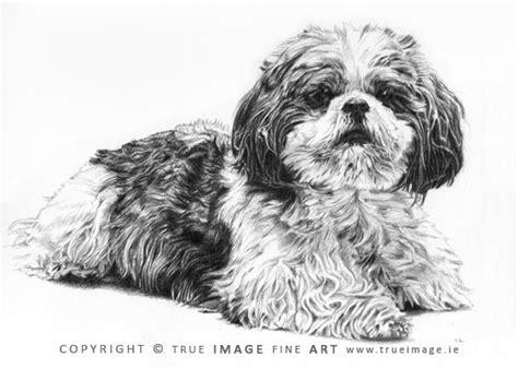 shih tzu portrait pencil pet portraits gallery