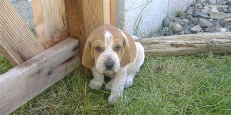 redtick coonhound puppies walker coonhound pups for sale breeds picture