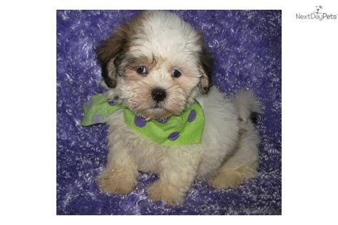 Shih Poo Shedding by Shih Poo Shihpoo Puppy For Sale Near Lake Of The Ozarks