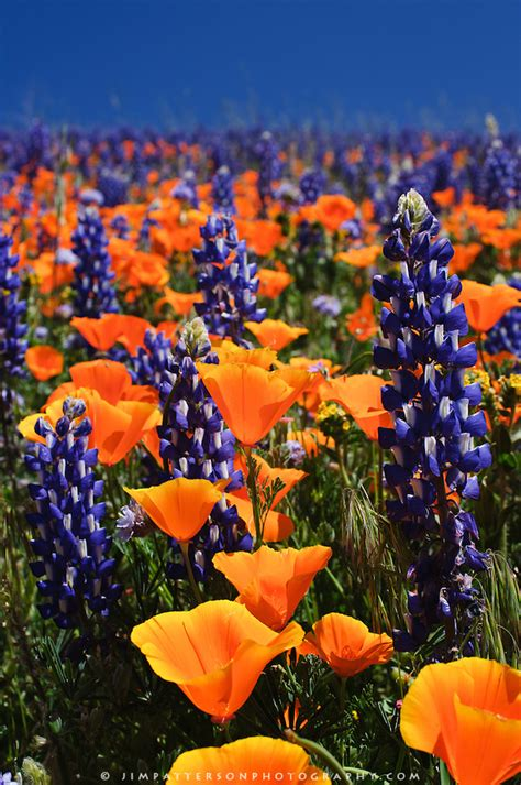 pictures of flowers in southern california fields and hills covered in california poppies purple