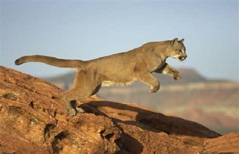 imagenes animal x o puma