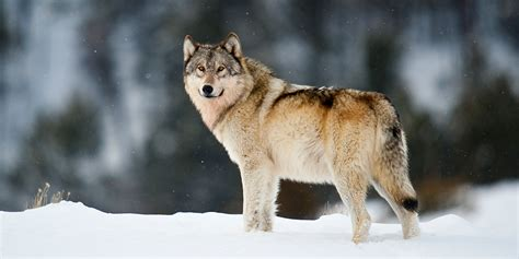 what is a wolf gray wolf basic facts about gray wolves defenders of wildlife