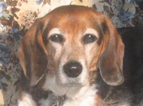 beagle colors beautiful fluff of beagle beagle mania