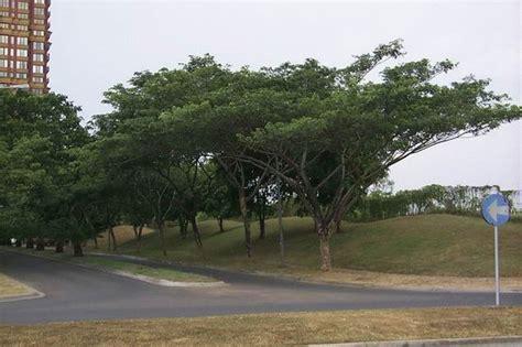Maket Pohon Pinus 9cm karakteristik pohon trembesi ki hujan