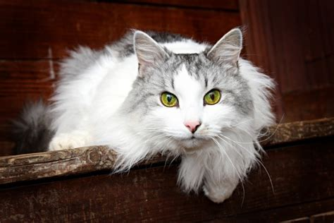 Siberian Cats Shedding by Top Hypoallergenic Cats For Allergy Sufferers