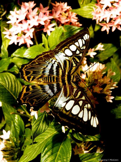 Featured In Macleans 2 by Clipper Butterfly 2 Photograph By Kimmary Maclean