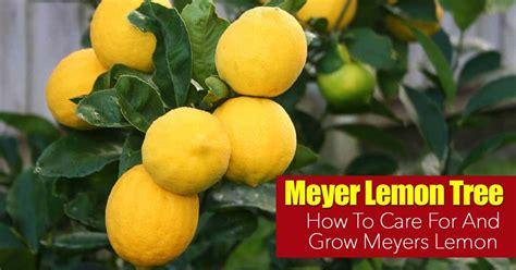 meyer lemon tree meyer lemon tree care how to grow meyers lemon