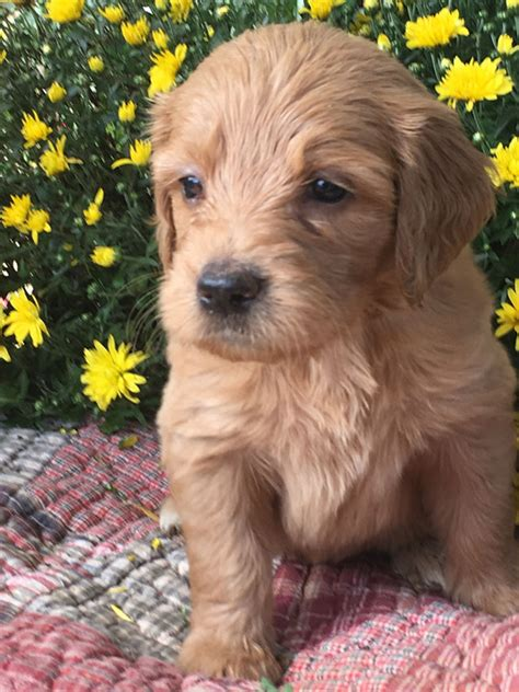 goldendoodle puppy for sale virginia goldendoodle puppies for sale in virginia by debs doodles