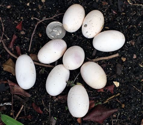 Marine Search Marine Iguana Eggs Www Pixshark Images Galleries With A Bite