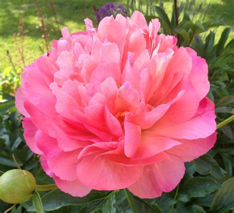 coral charm orange semi peony paeonia kelways