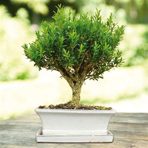 Family Tree Sticker For Wall 20 common boxwood buxus sempervirens shrub tree seeds