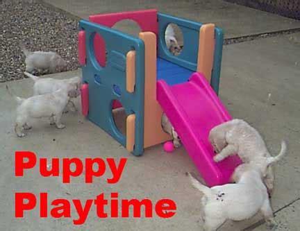 golden retriever puppies for sale ta golden retriever puppy golden retriever puppies for sale golden retrievers puppies