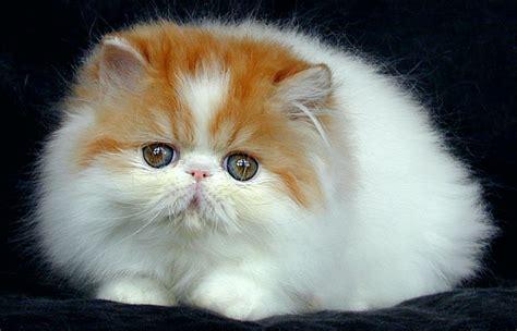 tips merawat kucing persia  anggora