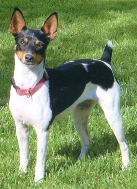 rat terrier jrt or rat terrier