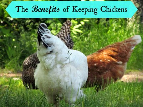 benefits of backyard chickens the benefits of keeping chickens