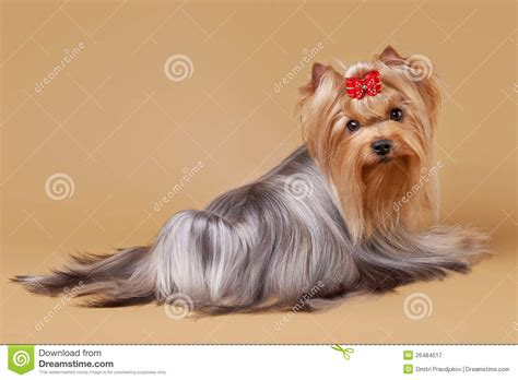 brown yorkie yorkie puppy on brown royalty free stock photography image 26484517
